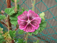 Commonmallow6