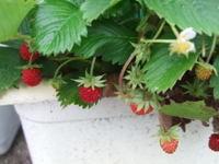 Wildstrawberry19